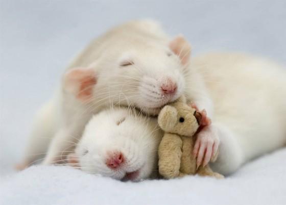 3025688-slide-s-rats-05