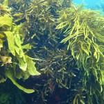 seaweed-canopy-1