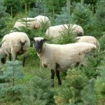 sheep_1117800c